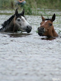 фото лошадей в реке