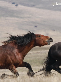 Бой лошадей. Фото лошадей мустангов.