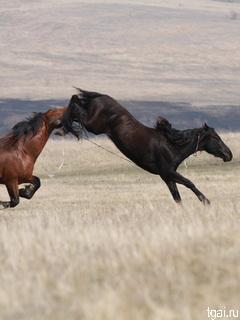 Бой лошадей мустангов