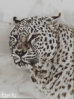Фото картинка леопард красивая фото