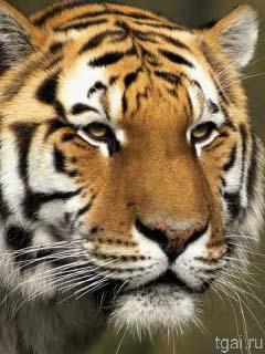 Фото картинки голова тигра на