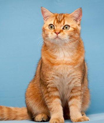 Большие кошки скачать глаза кошки