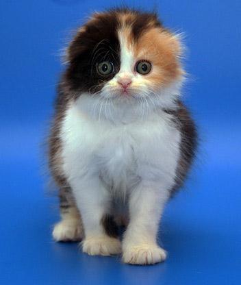 Шотландская вислоухая кошка на