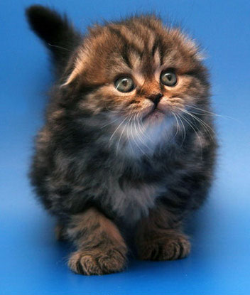 Шотландская вислоухая кошка: скоттиш фолд / хайленд фолд ...