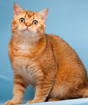 Красивые фото картинки кот британский