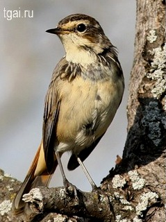 Красивые фото картинки птиц варакушка